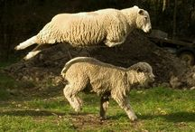 Ovis / Sheep