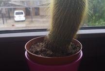 мои кактусы|my cactus