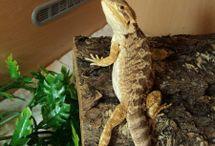 Frank / Bearded dragon info