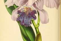 Illustrazioni botaniche