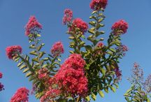 Crepe Myrtles / by Stephanie Finch
