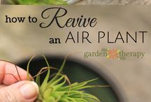 Air plant care / Jak dbać o tillandsię