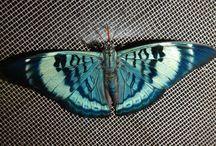 fluturii