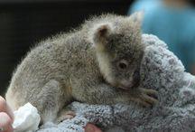 I have a Koala Obsession