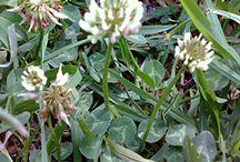 Edible flowers & weeds / Bush Tucker