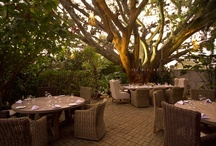 Alta Hotel Guanacaste tree / The oldest Guanacaste tree from the area,  300 years old, let you spend the best lunch or dinner at the Alta Hotel.