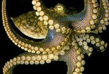 Octopuses the most intelligent creature in our Oceans.