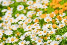 Λουλούδι μαργαριτες