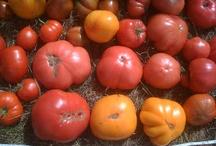 Tomato roundup