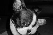 Vive la french bulldog