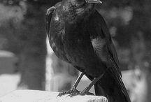 raven/ crow
