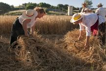 Traditional Harvesting  / An ancient tradition of our land!..always in Corinaldo ( Ancona, Marche Region)
