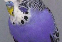 Budgies & other beautiful birds