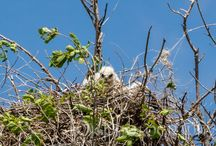Hawk Watch / Red-Tailed Hawk Nest