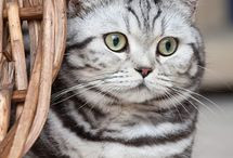 British Shorthair Silver Tabby