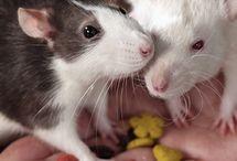 Pets (rats)