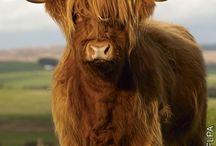 scottisch cow