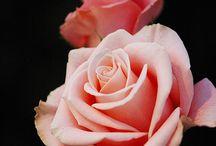 Розы - Rose