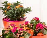 Kalanchoe - Woontrend / Verrijk je interieur met de veelzijdige en kleurrijkste plant van Nederland: Kalanchoe. In haar vele verschijningsvormen maakt de Kalanchoe jouw huis vrolijk en aangekleed. Wij inspireren je met dit bord graag.