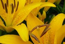 Yellow Perennials for Sun / Discover new perennials by color and light requirements to make creating your garden simpler.