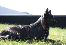 Chihuahua / Tess mijn lieve zwart kleurige langharige Chihuahua