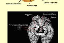 Cerveau Mémoire