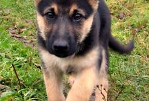 German Shepherd Dogs / Dogs