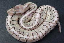 Snakes / Python, boas, snakes