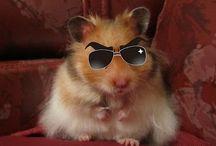 Hamsters / Hamster