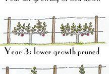 pruning beskärning spaljéträd