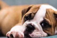 Big Bad Bully Dog