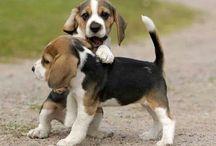 Beagle:-)