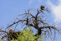 Bald Eagle Watch / A photo journal that follows a bald eagle couple and their eaglet.