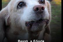 Beigli a Főnök / http://beagle-club.hu/in-memoriam/beigli-atkelt-a-szivarvanyhidon/