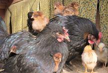 Chicken info / by Charlene Balkema