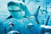 Sharks!!! / My fav animals of the water!!! / by Katherine Mirhashemi