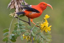 Lele O Nā Manu: Hawaiian Forest Birds / March 19, - July 31, 2016 in the J. M. Long Gallery This exhibit is about the rich and diverse natural history of endemic Hawaiian forest birds, their preeminence in traditional Hawaiian culture, and the dire need for their conservation.