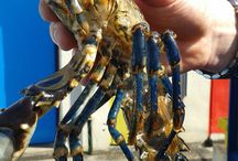 Moulted Lobster / One clawed lobster who moulted in the hatchery. Lobsters have exoskeletons so shed their entire body to grow.