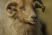 Sheep - schapen and goats geitjes / Beautiful sheep's and goat's.  Lovely pictures...