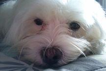 Bichon Maltes mi TITA / estas son las fotos de mi perrita