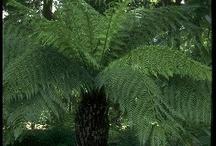 Gardening Tree ferns & Ferns