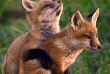 Foxy (zorro)