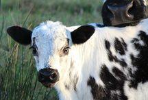 Cows - Koeien