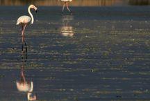 #Nature #Greece #Salt lake #Kos #Flamingo #Birds #TracyGymellasPhotography / Flamingo,s in the spring . Alykes Salt lake wetlands Island of Hippocrates founder of medicine  #Kos #Greece.