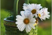 Daisies ~ (Happy Flowers) ~ My Favorite!