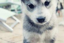 lovely husky