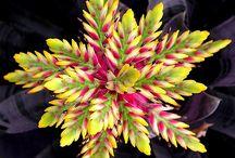 Bromeliads en Orgidiee