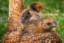 aves e afins
