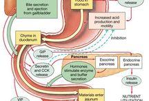 ♥ Anatomy & Physiology ♥