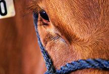 Gados & Cavalos / Bovinos